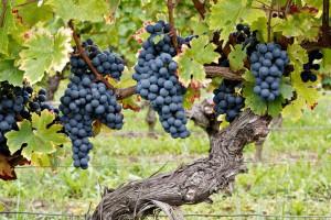Philosophie : Château Puyfromage - Grappes de raisin