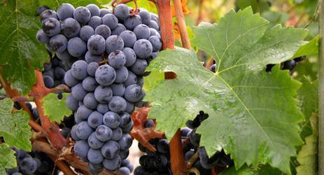 Cabernet Franc : Vignoble
