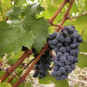 Cabernet Sauvignon : Vignoble du Château Puyfromage