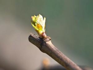 Saisons : Le débourrement