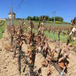 Le gel dévaste nos vignes - Château Puyfromage