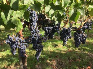 Vendanges 2019 : C'est parti ! Au Château Puyfromage, Vin de Bordeaux
